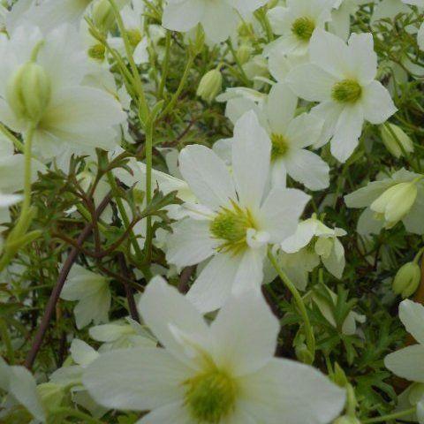 evergreens flower