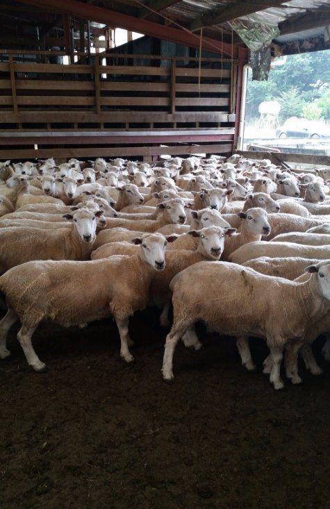 Sheeps in cattle farm