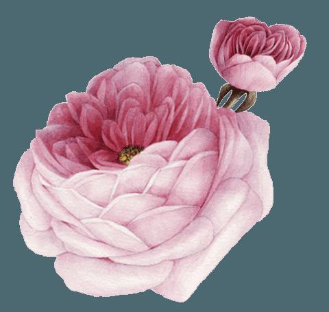 illustrazione di una rosa
