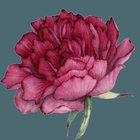 garofano rosso illustrazione