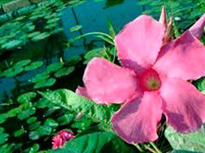 le nostre piante acquatiche
