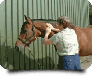 Horse receiving massage