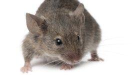 disinfestazione topi, sassari, interventi professionali