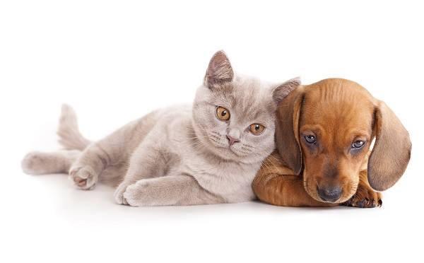 un cagnolino marrone e un gatto