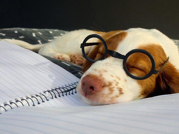 un cagnolino bianco e marrone con degli occhiali
