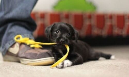 Dog Biting A Shoe Lace Pet Care In Tucson AZ At ABC Clinic