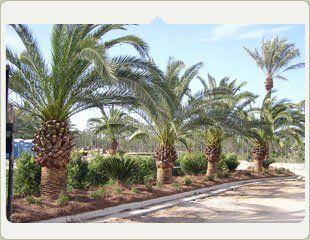 palm trees shrubs