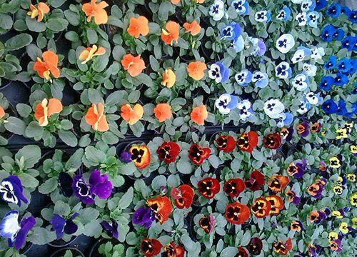 Piante fiorite nel Vivaio Campo Dei Fiori a Dusino San Michele