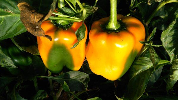 Peperoni gialli dell'AZIENDA AGRICOLA DADDI NEDO