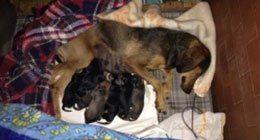 controllo gravidanze, cuccioli, parto