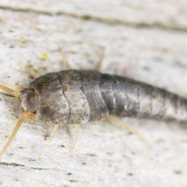 Silverfish sitting on wood