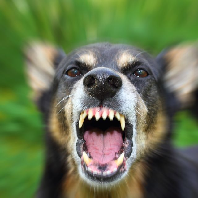 An agressive dog barking and baring it's teeth