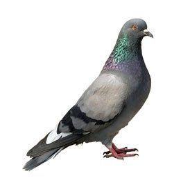 allontamaneto piccioni
