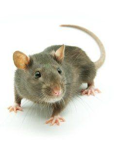 eliminazione topi e ratti Cuneo