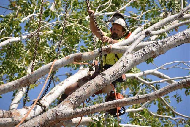 worker pruning tree carefully