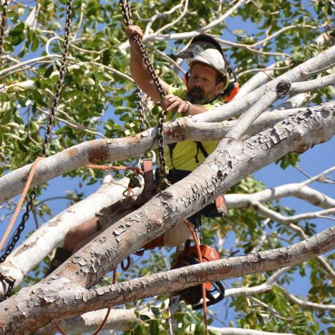qualified arborist working on tree