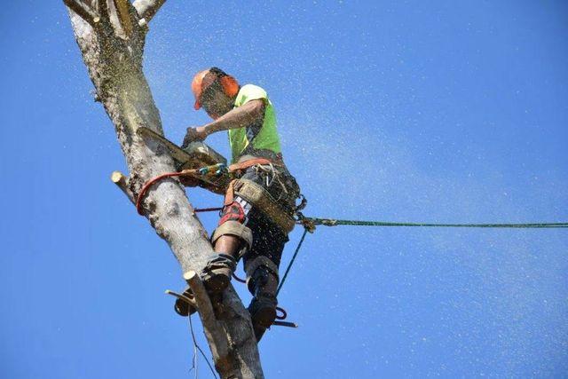 A worker providing tree pruning in Darwin