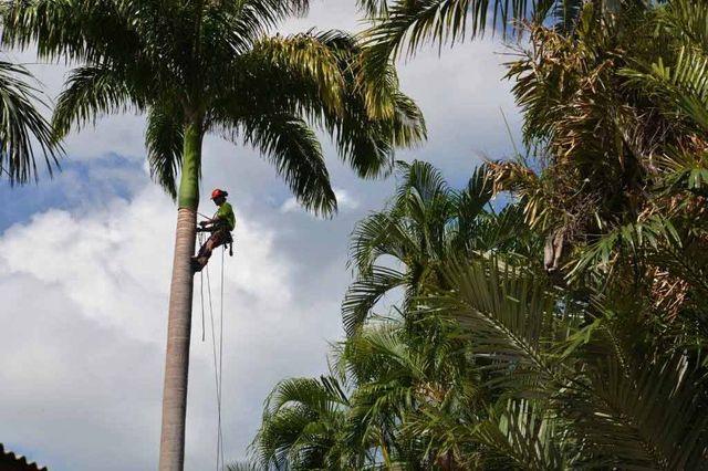 worker climbing up palm tree