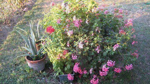un vaso di fiori rosa e accanto due vasi di piante grasse