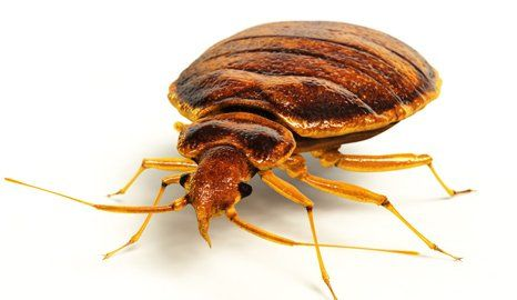 moving bed bug