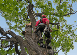 A man harnessed to a tree to carry out branch cutting