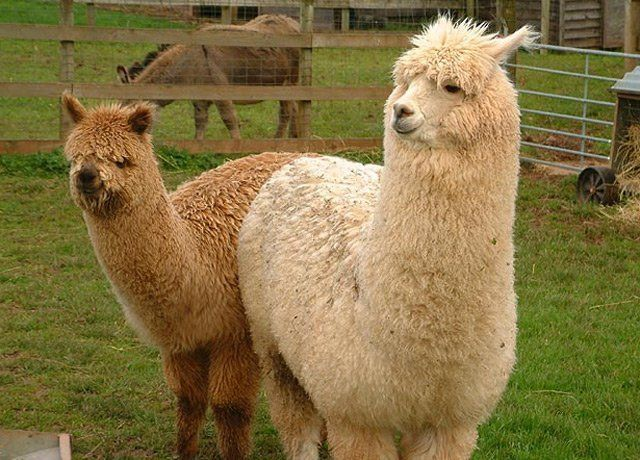 Alpaca for the day