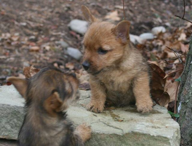 High Pines Norwich Terrier Puppies