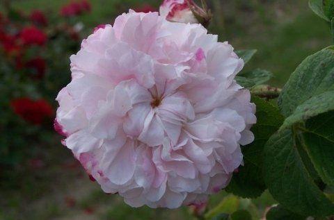 Rosa Leda