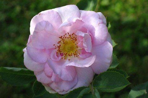 Rosa-alba-Celestial.