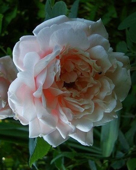 Viscountess Folkestone