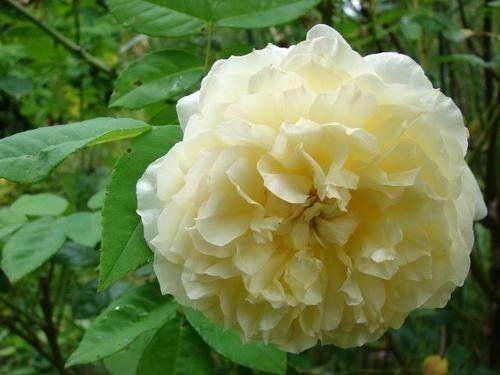 Rosa Celine Forestier