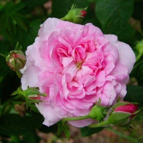 Rosa Ispahan