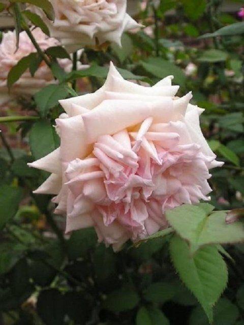 Le rose tea - Roma - Vivaio Taroni