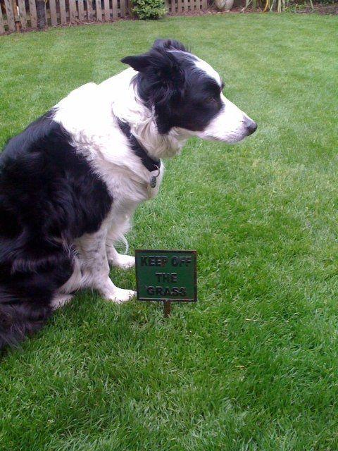 black and white collie sheepdog