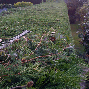 hedge trimmed with power trimmer