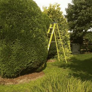 using tall ladders to shape ornamental yew bush