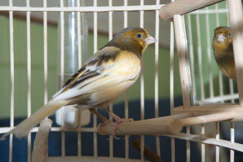 un uccellino in gabbia si guarda allo specchio