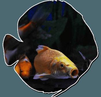 pesciolini rossi rieti, pesci d'acqua fredda, rieti
