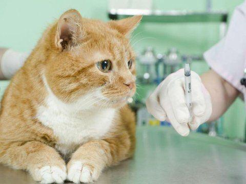 veterinario pronto a iniettare una siringa a un gatto