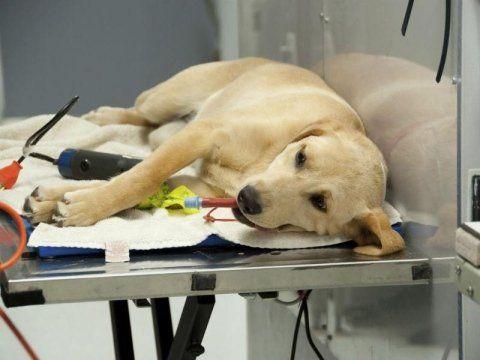 cane steso su un lettino per una visita dal veterinario