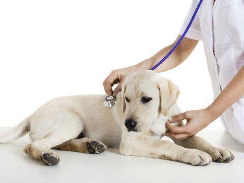 veterinario che usa uno stetofonendoscopio su un cane