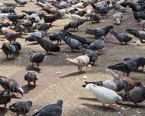 dei piccioni