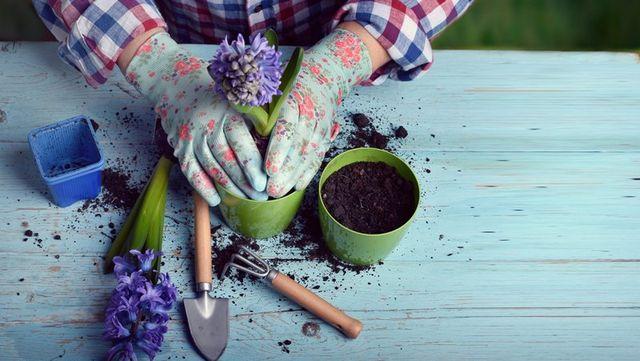 mani di donna mentre pianta un fiore viola in un nuovo vaso
