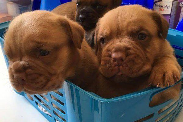 tre cuccioli di cane di color marrone in un cesto blu