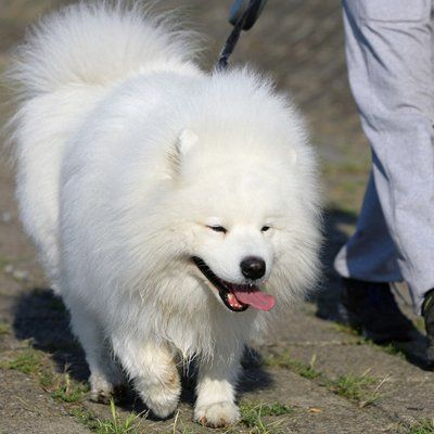 white dog putting its tongue out