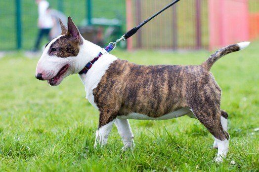 miniature bull english terrier