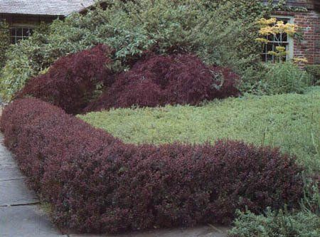 Crimson Pygmy Barberry Garden Plant Deciduous Shrubs