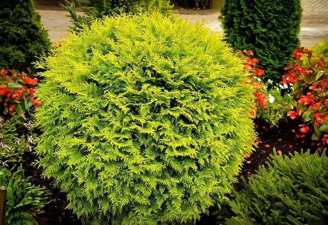 Globe Arborvitae Garden Plant Evergreen Shrubs Chicago