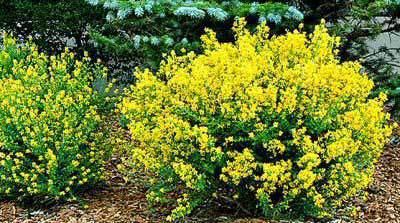 Gro low sumac garden plant deciduous shrubs chicago for Low growing flowering shrubs