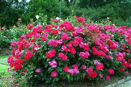 The Newest Shrub Rose Out There This Is A Low Maintenance That Has Beautiful Cherry Red Cer Flowers Will Flower All Summer Long Adding